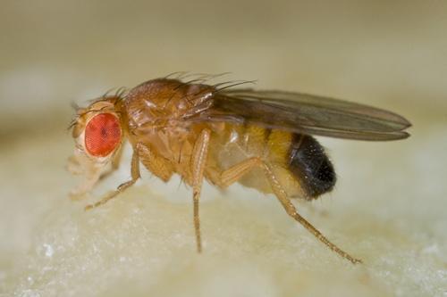 แมลงหวี่ คืออะไร